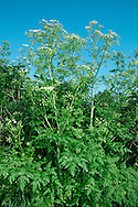 HEMLOCK Conium maculatum (Apiaceae) Height to 2m<br /> Highly poisonous, hairless biennial with hollow, purple-blotched stems and an unpleasant smell when bruised. Found on damp, wayside ground, motorway verges and riversides. FLOWERS are white and borne in umbels that are 2-5cm across (Jun-Jul). FRUITS are globular with wavy ridges. LEAVES are up to 4 times pinnately divided into fine leaflets. STATUS-Widespread and locally common, except in the far N.