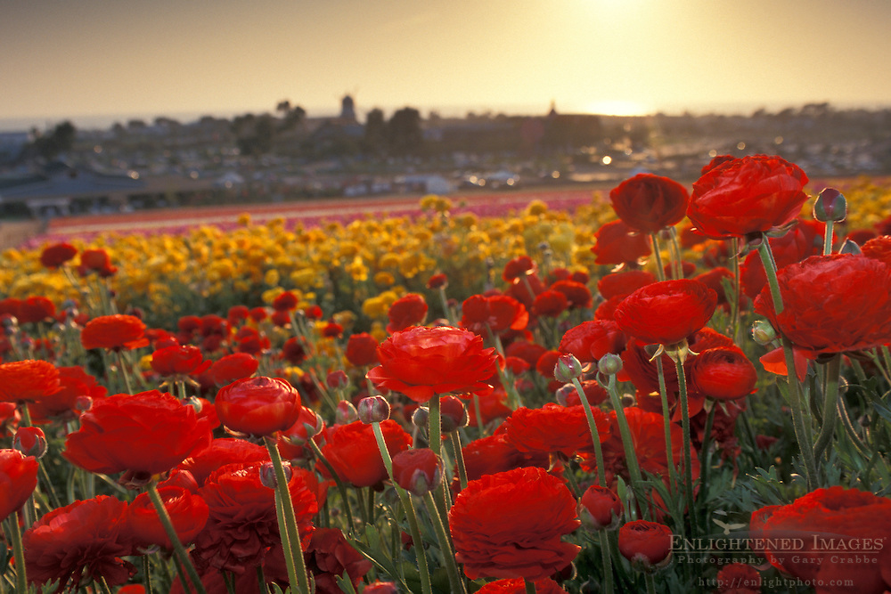 Rows of colored flowers bloom in spring at+the Carlsbad Flower Fields, Carlsbad, San Diego County, CALIFORNIA