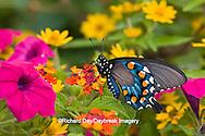 03004-00917 Pipevine Swallowtail (Battus philenor) on Red Spread Lantana (Lantana camara) in butterfly garden, Marion Co.  IL