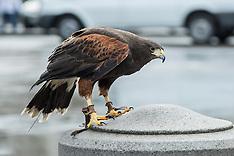 25 Feb.2015 - Harris Hawks on Pigeon pest control duty in Trafalgar Square.