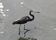 Tri Colored Heron in the marsh at low tide on Jekyll Island