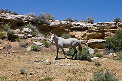 A ferial horse grazes near Canyons of the Ancients National Monument, Colorado.