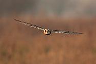 Short-eared Owl (Asio flammeus) adult, in flight, hunting over grazing marsh, Norfolk.