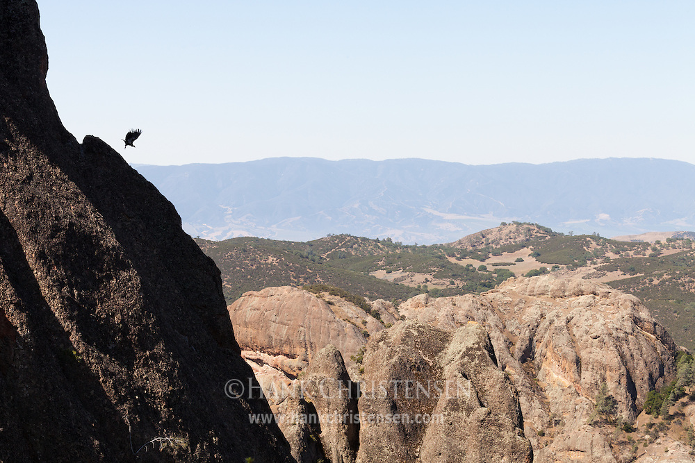 A California Condor takes off from a cliffside perch, Pinnacles National Park
