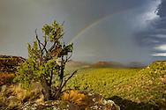 Rain storm passes over Pueblo Canyon, with rainbow, juniper tree, © 2011 David A. Ponton