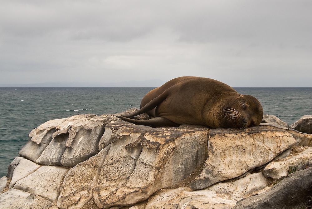 Sea Lion<br /> Galapagos