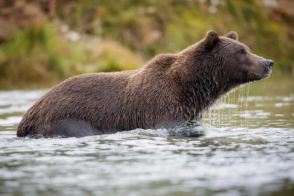 USA, Alaska, Katmai National Park, Kinak Bay, Brown Bear (Ursus arctos) wading in stream while fishing for spawning salmon  on autumn day