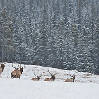 bull elk run for cover spooked winter snow
