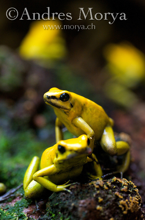 Yellow-banded poison dart frog, Dendrobates leucomelas, South America. <br /> This amphibian is normally found in very humid conditions in tropical rain forests, close to fresh water. It is often found on flat rocks, trees, plants (notably, bromeliads) and the leaf litter of the forest floor. During the dry season, specimens are known to congregate in damper places such as under rocks or fallen tree trunks. These beautiful colors are warnings to potential predators that the frogs are poisonous. Other species, such as monarch butterflies, sport bright colors to advertise their toxicity. Several species of non-poisonous frogs evolved with similar coloring to avoid being eaten. Some scientists think that the reticulated pattern of the frogs also acts as camouflage among the forest shadows.<br /> <br /> Three very toxic species of poison dart frogs from Colombia and South America are utilized by Indians to poison the tips of blowgun darts. Image by Andres Morya