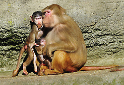 Baboon's with Young in Zoo Hagenbeck, Hamburg,  March 5, 2013. Photo by Imago / i-Images...UK ONLY