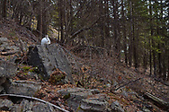 A snowshoe hare perches on a rock for warmth below the top of Lick Mountain in February 2015 during a winter with historically low snowpack. Yaak Valley in the Purcell Mountains, northwest Montana.