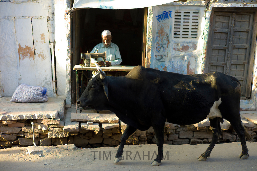 Bull strolling past Indian man working on sewing machine in village of Rohet in Rajasthan,  India