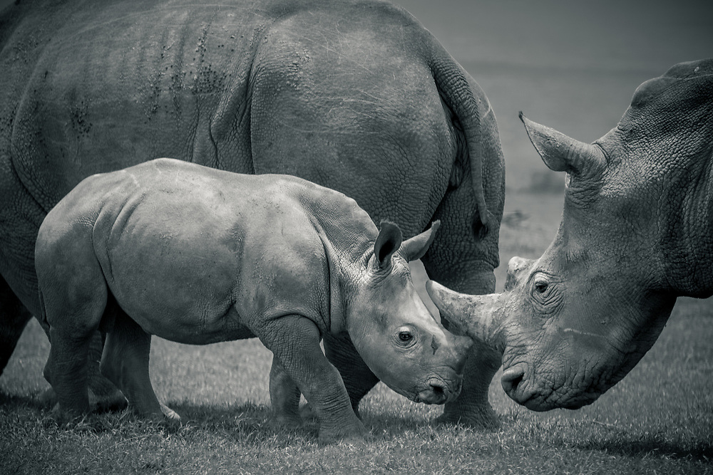 A tender moment between a mother and calf Southern White Rhino