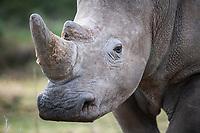 Sub-Adult bull White Rhino, White Rhino, Mount Camdeboo, Eastern Cape, South Africa