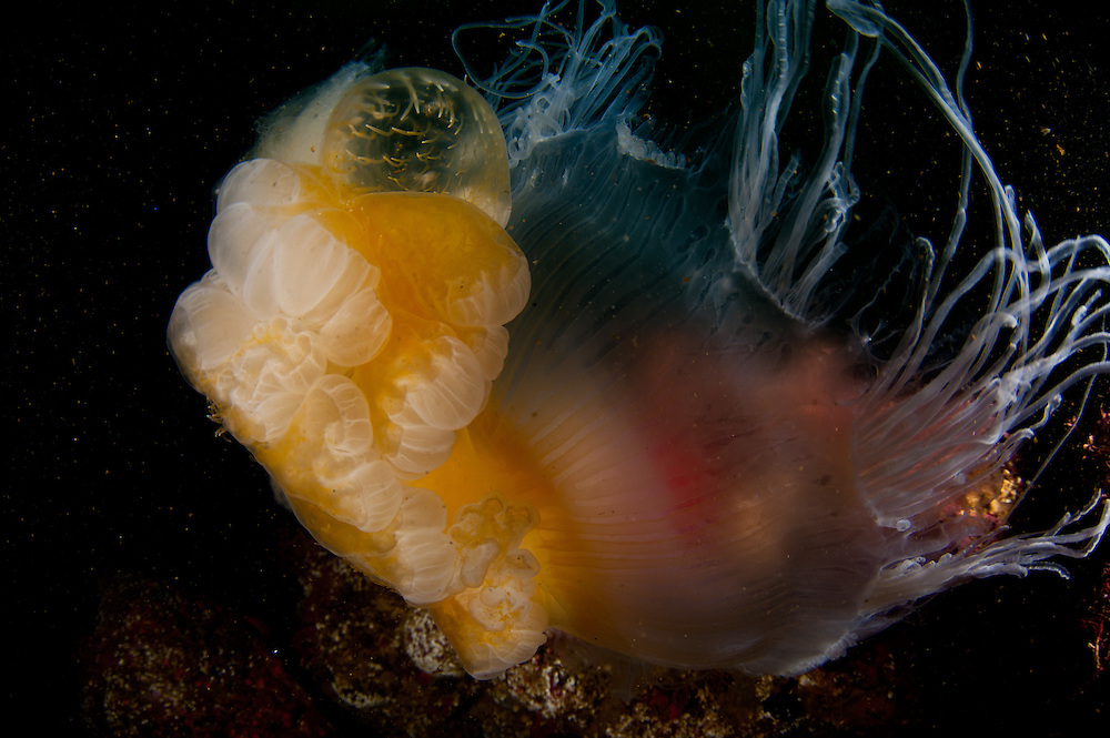 A Jelly Fish surrounds a sea amenome at the Point Lobos Marine Reserve.