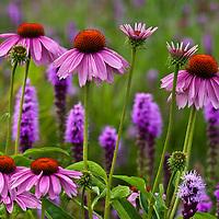 Purple Coneflower and Prairie Gayfeathers  (Echinacea purpurea and Liatris spicata)