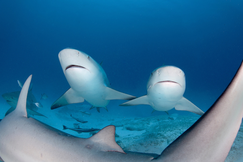 Bull sharks swimming off Playa Del Carmen, Mexico.