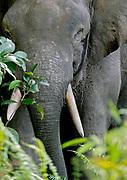 Borneo pygmy elephant (Elephas maximus borneensis) from Kinabatangan River, Sabah, Borneo.