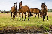 Herd of French trotter horses in meadow in Les Marais de la Douve, the marshes, Normandy, France