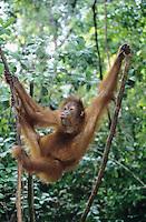 Orangutan climbing tree