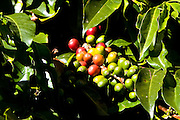 A Cluster of Coffee Beans on the Tree in Boquete, Panama