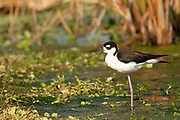 Black necked Stilt Himantopus mexicanus Green Cay Nature Area Delray Beach, Florida