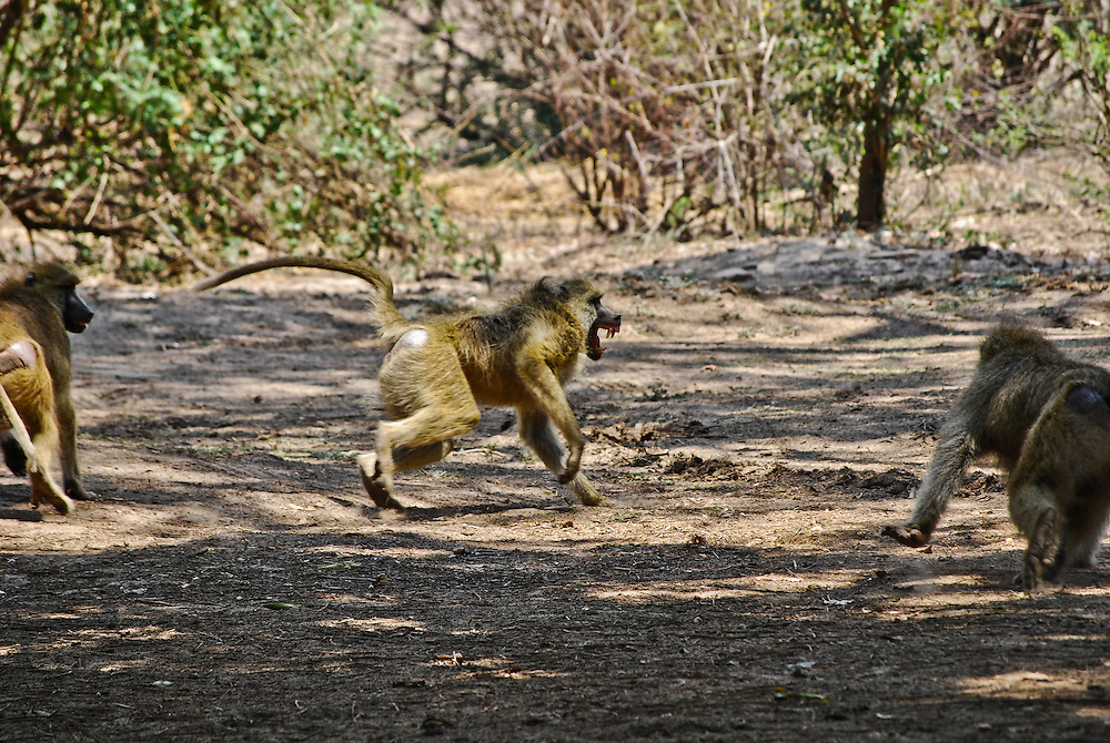 Baboon fight. South Luangwa, Zambia.