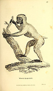 Wood Baboon from General zoology, or, Systematic natural history Part I, by Shaw, George, 1751-1813; Stephens, James Francis, 1792-1853; Heath, Charles, 1785-1848, engraver; Griffith, Mrs., engraver; Chappelow. Copperplate Printed in London in 1800. Probably the artists never saw a live specimen