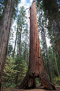 The Pioneer Cabin Tree / Giant Sequoia, Calaveras Big Trees State Park, California