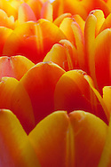 A closeup of a bunch of tulips yields abstract shapes