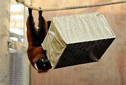 © Licensed to London News Pictures. 11/12/2012. Bristol, UK. Christmas presents for animals at Bristol Zoo, with boxes containing food.  Picture of Trevor the Red Ruffed Lemur.  11 December 2012..Photo credit : Simon Chapman/LNP
