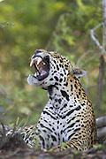 Jaguar<br /> Panthera onca<br /> Yawning<br /> Cuiaba River, Brazil