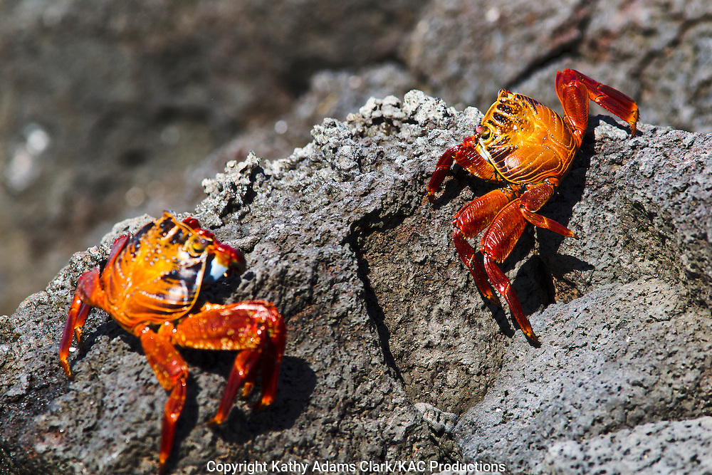 Sally lightfoot crab, on lava rocks, Bachas Beach, Santa Cruz Island, Galapagos, Ecuador.