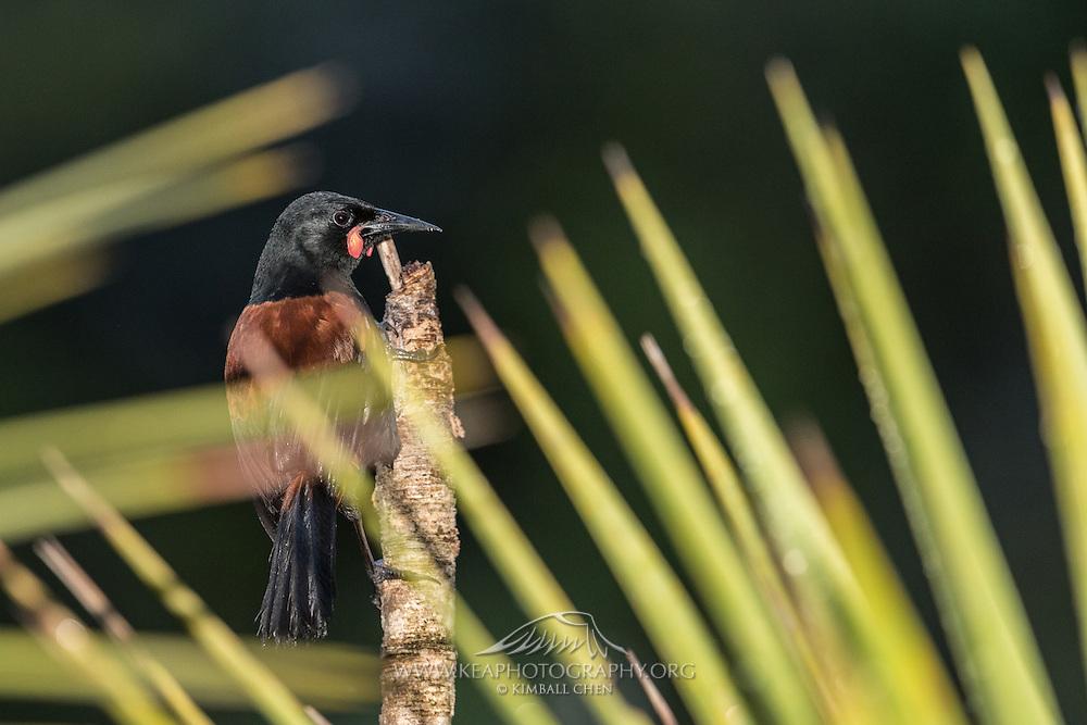 Long blades from a cabbage tree artistically mask a briefly posing Saddleback on Tiritiri Matangi, New Zealand.