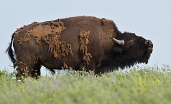 A bison grazes at the 10,894-acre Tallgrass Prairie National Preserve located in the Flint Hills of Kansas in Chase County near the towns of Strong City and Cottonwood Falls. This bison is losing its winter coat to help it stay cool. Birds use spent bison hair to line their nests. In October 2009, the Tallgrass Prairie National Preserve brought 13 genetically pure bison from Wind Cave National Park in South Dakota. The preserve plans to add more bison from Wind Cave with a final herd size between 75 and 100 bison. Tallgrass Prairie National Preserve is the only unit of the National Park Service dedicated to the preservation of the tallgrass prairie ecosystem. The Tallgrass Prairie National Preserve is co-managed with The Nature Conservancy.