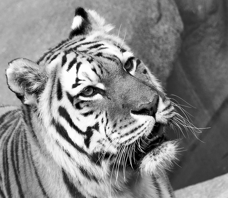 Soul Survival: Amur Tiger (Scientific name: Panthera tigris altaica)<br />