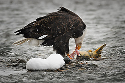 A bald eagle (Haliaeetus leucocephalus) feeds on a salmon in the Chilkat River as it snows in the Alaska Chilkat Bald Eagle Preserve near Haines, Alaska. During late fall, bald eagles congregate along the Chilkat River to feed on salmon. This gathering of bald eagles in the Alaska Chilkat Bald Eagle Preserve is believed to be one of the largest gatherings of bald eagles in the world.