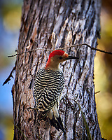 Red-breasted Woodpecker. Winter Nature in Florida Image taken with a Nikon D4 camera and 80-400 mm VRII telephoto zoom lens