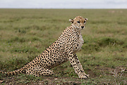 Cheetah, the Ngorongoro Conservation Area or NCA is a conservation area situated 180 km west of Arusha in the Crater Highlands area of Tanzania.