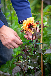 Staking dahlias with cane and string