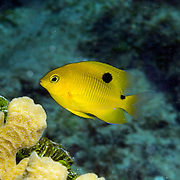 Threespot Damselfish, juvenile, inhabit reef tops in areas with algae in Tropical West Atlantic; picture taken Utila, Honduras.