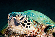 Green Sea Turtle, Chelonia mydas, (Linnaeus, 1758), Damaged Bill, Maui Hawaii