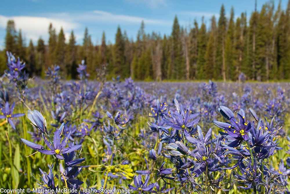 Packer Meadow filled with blooming Camas, Camassia quamash, where the Lewis and Clark expedition stopped to graze their horses. Idaho.