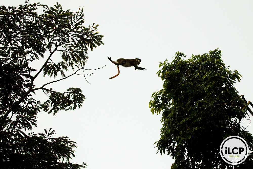Red-tail Monkey (Cercopithecus ascanius) leaping between trees, Kibale National Park, western Uganda