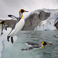 Antarctica, South Georgia Island (UK), King Penguin (Aptenodytes patagonicus) leaps from iceberg calved from tidewater glacier along Golden Harbour on late summer morning