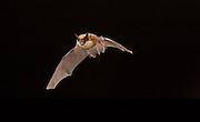 Eastern small-footed bat, (Myotis leibii) Cherokee National Forest, Tennessee.