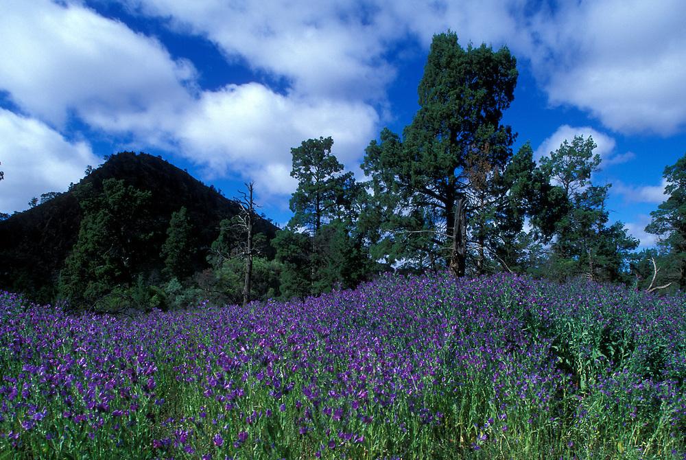 Australia, South Australia, Flinders Range National Park, Wildflowers bloom in alpine meadow near Brachina Gorge