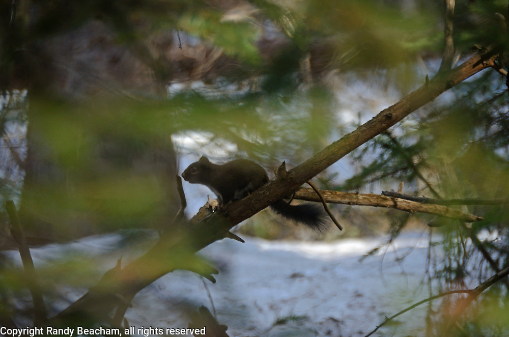 Red squirrel in a conifer forest in spring. Yaak Valley in the Purcell Mountains, northwest Montana.