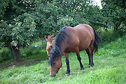 Farm horse and her new colt eating grass. Zawady Central Poland