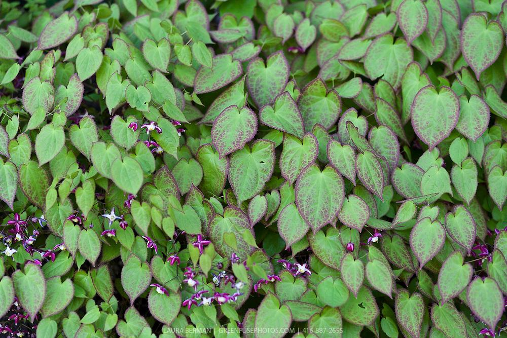 Red barrenwort (Epimedium  x 'rubrum')
